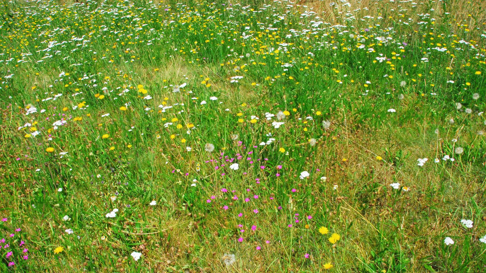 Gräser-Kräuter-Rasen